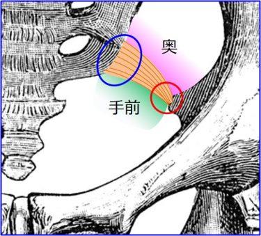 骨盤臓器脱手術で使われる靭帯のお話(今回はマニアックです・・・)